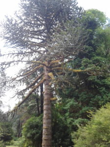 large monkey puzzle tree